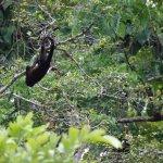 Hollar Monkey