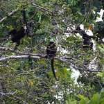 A bunch of Hollar Monkeys