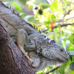 Inquisitive Iguana
