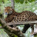 Wonderful and majestic Jaguar.