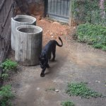 Dusit Zoo - Panther