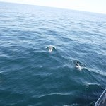 White striped Atlantic dolphins having fun with our boat