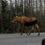 Moose sighting just outside Seward