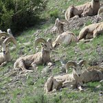 Male big horn sheep sunning themselves