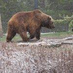 Sam - 900+ lb grizzly bear