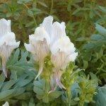 Linaria anticaria. Un endemismo del Torcal.