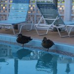 Guess what I found early one morning during my stay?  Ducks enjoying our pool.