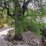 La Grande Quercia (The Big Oak)