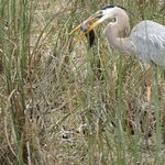 Great Blue heron and lunch