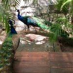 Loud peacocks near the spa