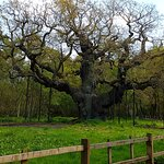 The Major Oak
