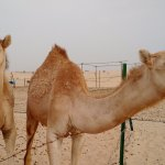 Stop to pet the camels. They were surprisingly friendly