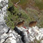 Dassies, animals exclusive to Cape Town and atop the Table Mountain