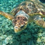Swim with Sea Turtles!