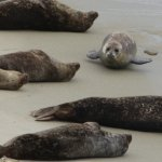 baby seal is active and cute