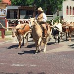 Longhorn cattle drive, twice day.