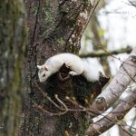 Genuine (not albino) white squirrel