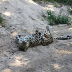 Leopard siting near the lodge