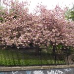 Spring blossoms in the beautiful gardens in Regents Park