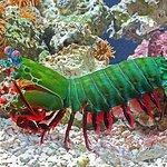 Harlequin Mantis Shrimp