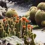 Flowering cacti in the Desert Garden
