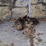 Sleeping duck family on the sidewalk.