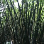 Bamboo forest, for those who love trekking
