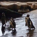 Penguins at feeding time at Two Ocean Aquarium pic 1