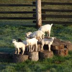 You're on a working farm in Oregon's wine country and bound to see some mischievous goats!