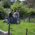 Pig herding
