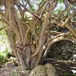 Fig tree trunk (trained along a pergola - not shown)