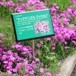 Hitsujiyama Park - Pink Moss