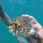 A pufferfish on our Snorkel and Sunset Cruise. Leaves from the beach at the resort.