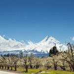 Apple trees in bloom with Mt. Hood in the background