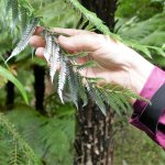 This is why NZ's famous fern is called a Silver Fern