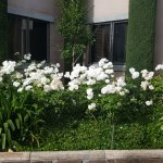 Beautiful roses outside of buildings