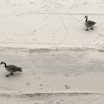 Geese walking close to hotel