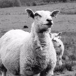 Sheep and Coos