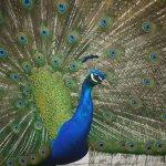 Friendly peacocks