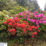 Rhodies and Azalea everywhere