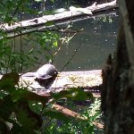 There were turtles sunbathing along the water, just sitting serenely on logs.