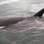 Curious Orca