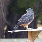 Awatere Falcon