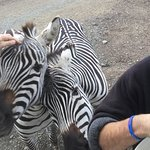 Patting the Zebras