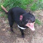 My favourite - the Tasmanian Devil