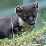 """Peanut"" the Pine Marten"