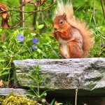 """Red"" the endangered Red Squirrel"