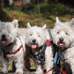 "The ""Westies""... resident doggies"