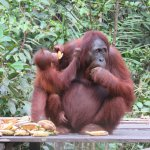 The magnificent orangutan whose environment is threatened by commercial enterprise