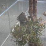 ユーカリを食べることに夢中のコアラ